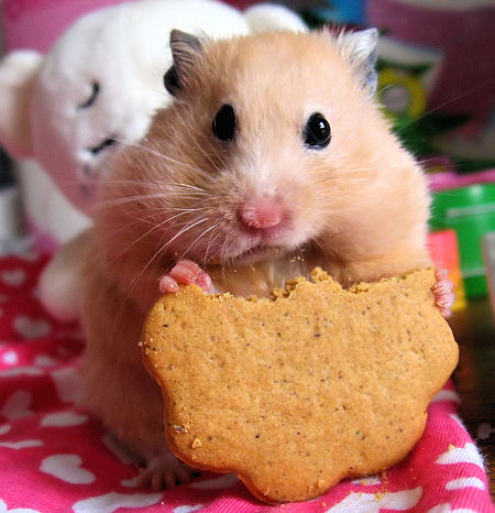 cute-hamster-eating
